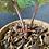 Thumbnail: Anthurium Radicans
