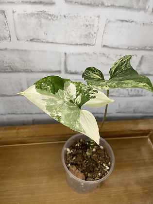 Syngonium Podophyllum Albo #1
