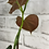 Thumbnail: Philodendron Lupinum #2