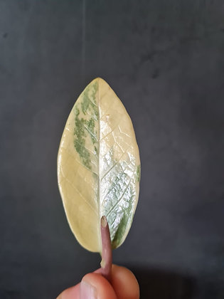 Stem Cutting Variegated Zamioculcas Zamiifolia