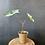Thumbnail: Syngonium 'Albo' Podophyllum