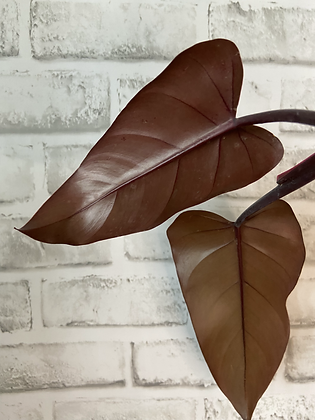 Philodendron Dark Lord #3
