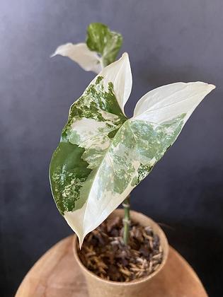 Syngonium 'Albo' Podophyllum