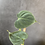Thumbnail: Philodendron Lupinum
