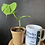 Thumbnail: Philodendron Fibraecataphyllum