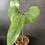 Thumbnail: Anthurium Brownii