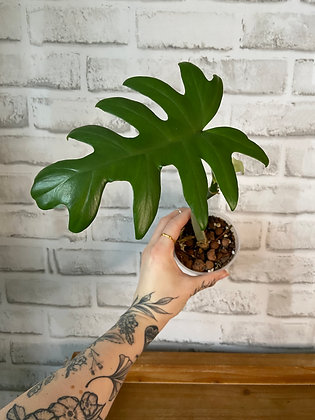 Philodendron Mayoi #1