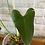 Thumbnail: Anthurium Brownii #2