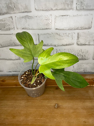 Philodendron Florida Ghost #2