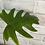 Thumbnail: Philodendron Mayoi #2