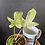 Thumbnail: Philodendron Florida Ghost