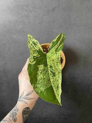 Syngonium Mojito #2