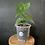Thumbnail: Anthurium Papillaminum x Pterodactyl x Clarinervium