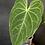 Thumbnail: Anthurium Magnificum x Regale