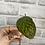Thumbnail: Hoya sp Tanggamus Red unrooted