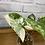 Thumbnail: Syngonium Podophyllum Albo #1