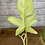 Thumbnail: Philodendron Florida Ghost #4