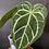 Thumbnail: Anthurium Magnificum