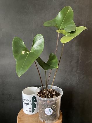 Anthurium Brownii