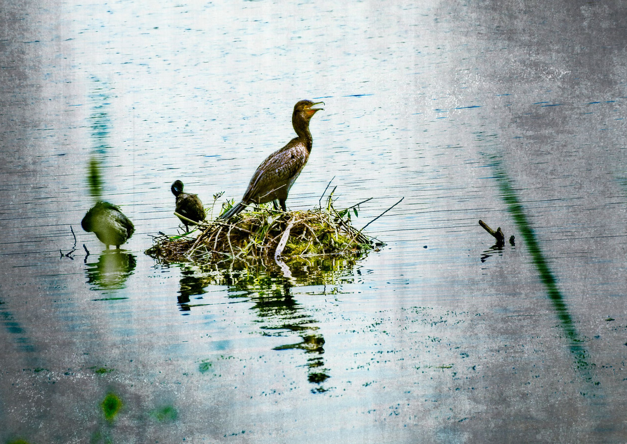 Cormorant on King's Mill Reservoir