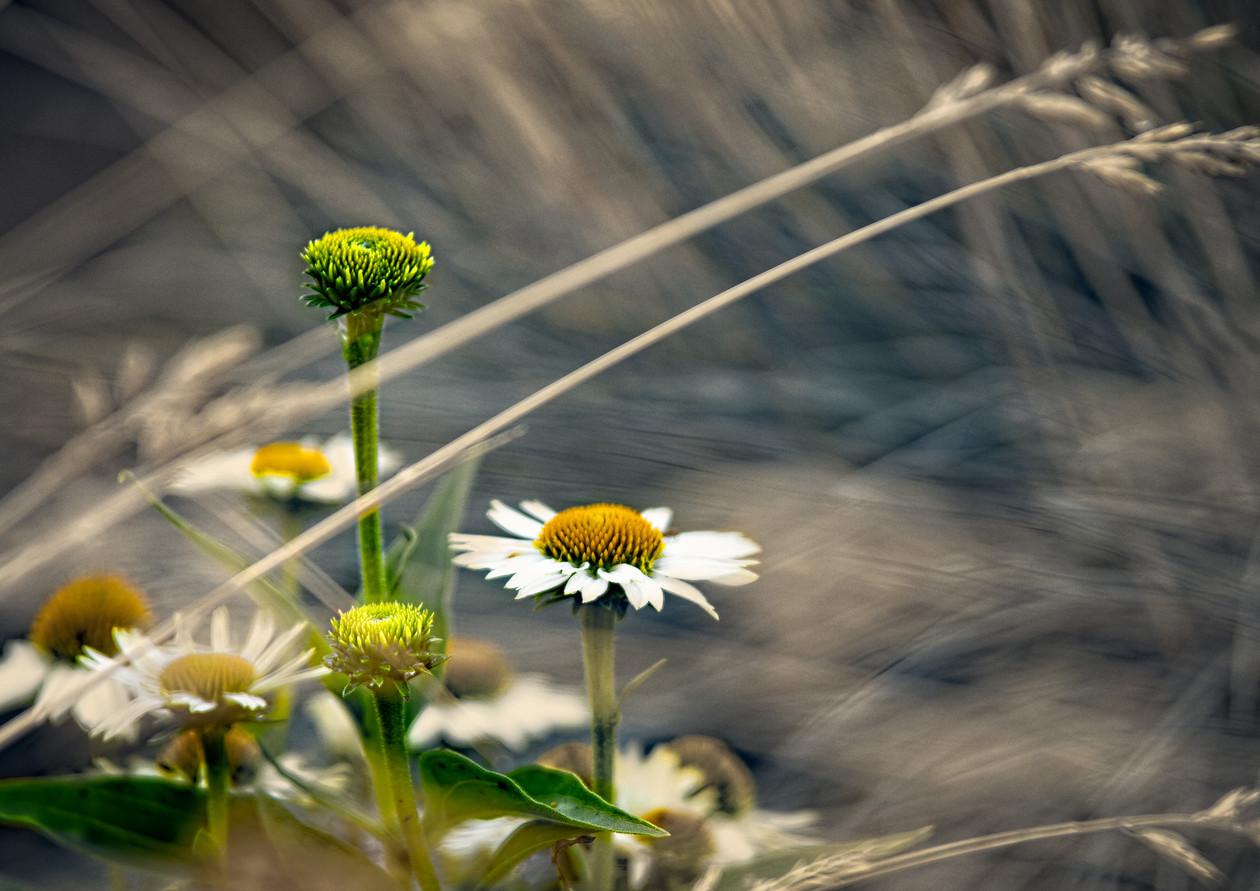 Windswept Echinacea