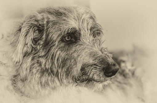 Harris the Deerhound