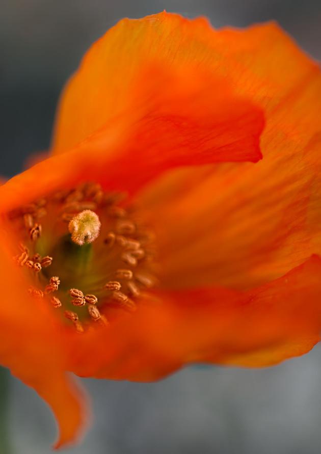 Windswept poppy