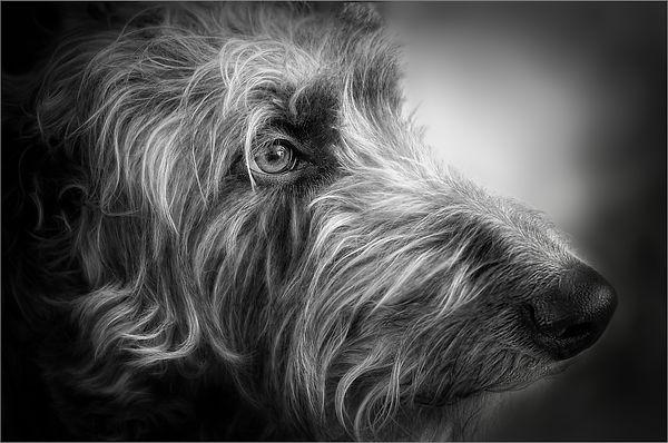 Deerhound Portrait