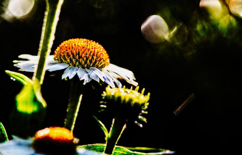 echinacea #garden  #flower #plant #yellow #white #green #flora #blooms #pentax #closeup