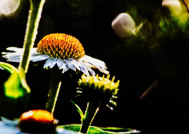Echinacea shining through.
