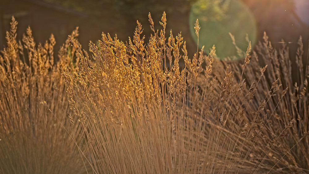 Early Morning Grasses