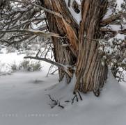 Snow and Juniper_no 2