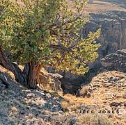 Juniper, Owyhee Canyonlands_no1