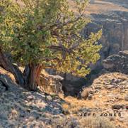Juniper, Owyhee Canyonlands, no1