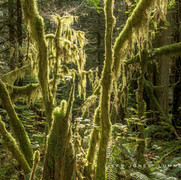 Temperate Rain Forest Light no2