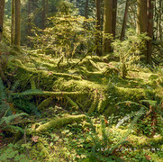Temperate Rain Forest Light no1