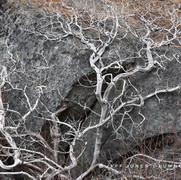 Lifeless Manzanita on Granite