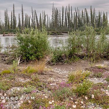 River Bench Vegetation in Boreal Forest