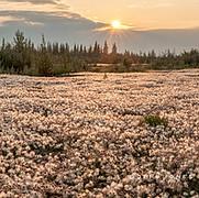 Dryas Field