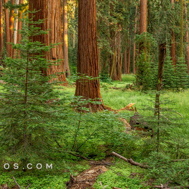 Sequoia Forest Sunset