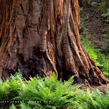 Sequoia and Ferns