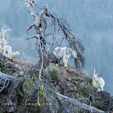 Mountain Goats and Snag