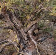 Western Juniper, Badlands Wilderness