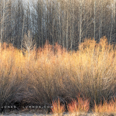 Deschutes River, Early Spring Willows
