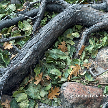 Riverbank Roots in Fall
