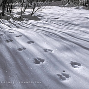 Chickaree Tracks