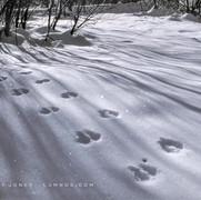 Chickaree Tracks