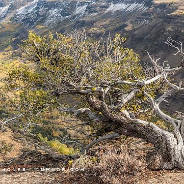 Mountain Maghogany Above Canyon
