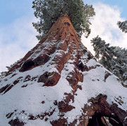 Soaring Sequoia