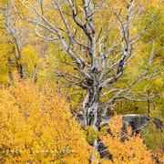 Snag Standing Among Fall Colors